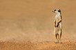 canvas print picture Meerkat on guard, Kalahari desert