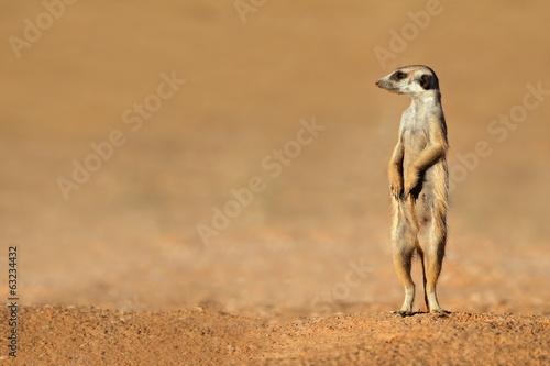 Fotografie, Obraz Surikata na stráži, poušť Kalahari