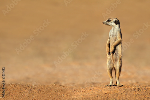 Fényképezés  Meerkat on guard, Kalahari desert