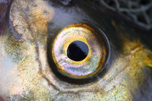 Close Up Of A Fish Eye (The Common Bream - Abramis Brama).