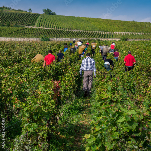 Fotografía  vendanges à la main