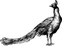 Hand Drawn Peacock