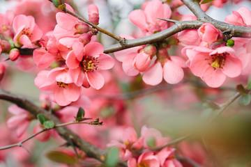 Obraz na płótnie Canvas Spring Blossoms