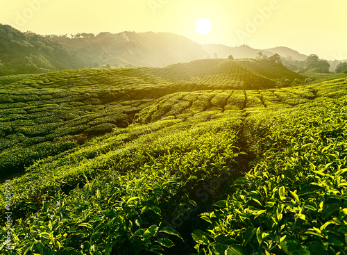 Sunset at tea plantation landscape, Cameron Highlands, Malaysia