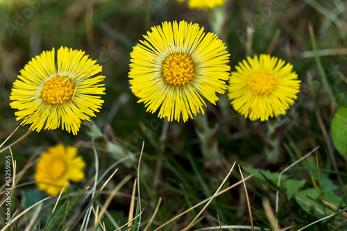 Coltsfoot Medical First Flower on Spring - Latin Name Tussilago Canvas-taulu