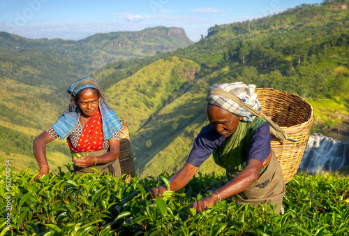 Canvas Print Women Tea Pickers in Sri Lanka
