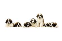 St Bernard Puppies Isolated On...