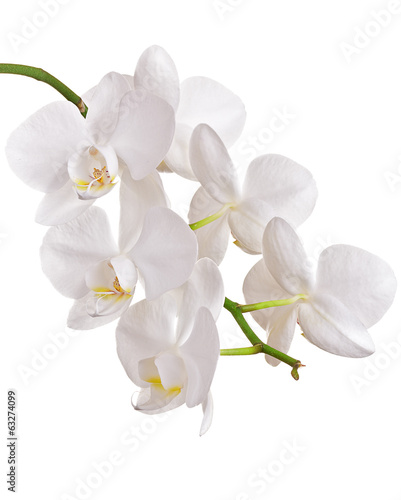 Poster Orchid Beautiful orchid on white background