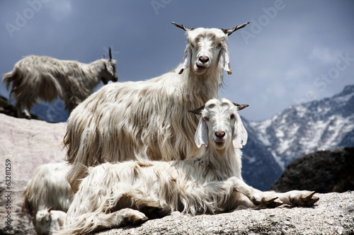 Foto op Canvas Nepal Goats on the Rocks
