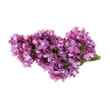 purple lilac isolated on white background ( clipping path )