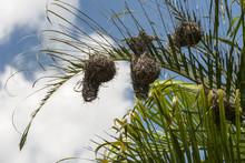 African Weaver Bird Nest