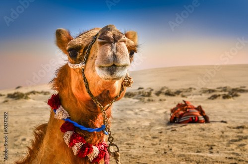 Photo  Detail of camel's head with funny expresion