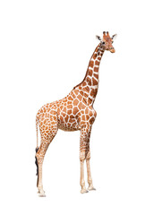 Fototapeta Giraffe to the utmost. It is isolated on the white