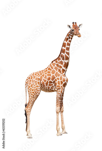 In de dag Giraffe Giraffe to the utmost. It is isolated on the white