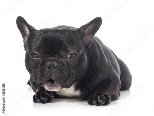 Foto op Aluminium Franse bulldog french bulldog