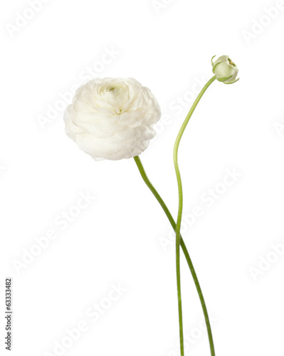 Stampa su Tela Ranunculus  isolated on white.