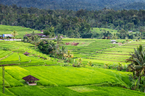 Fototapety, obrazy: Green rice fields on Bali island, near Ubud