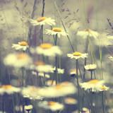 Vintage kwiaty daisy - 63338871