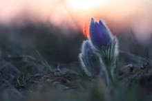 Spring Flower (Pulsatilla Grandis) In Sunset