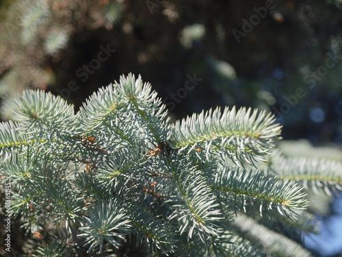 Garden Poster Roe silver fir branch