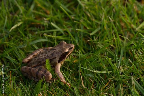 Fotografie, Obraz  Common frog