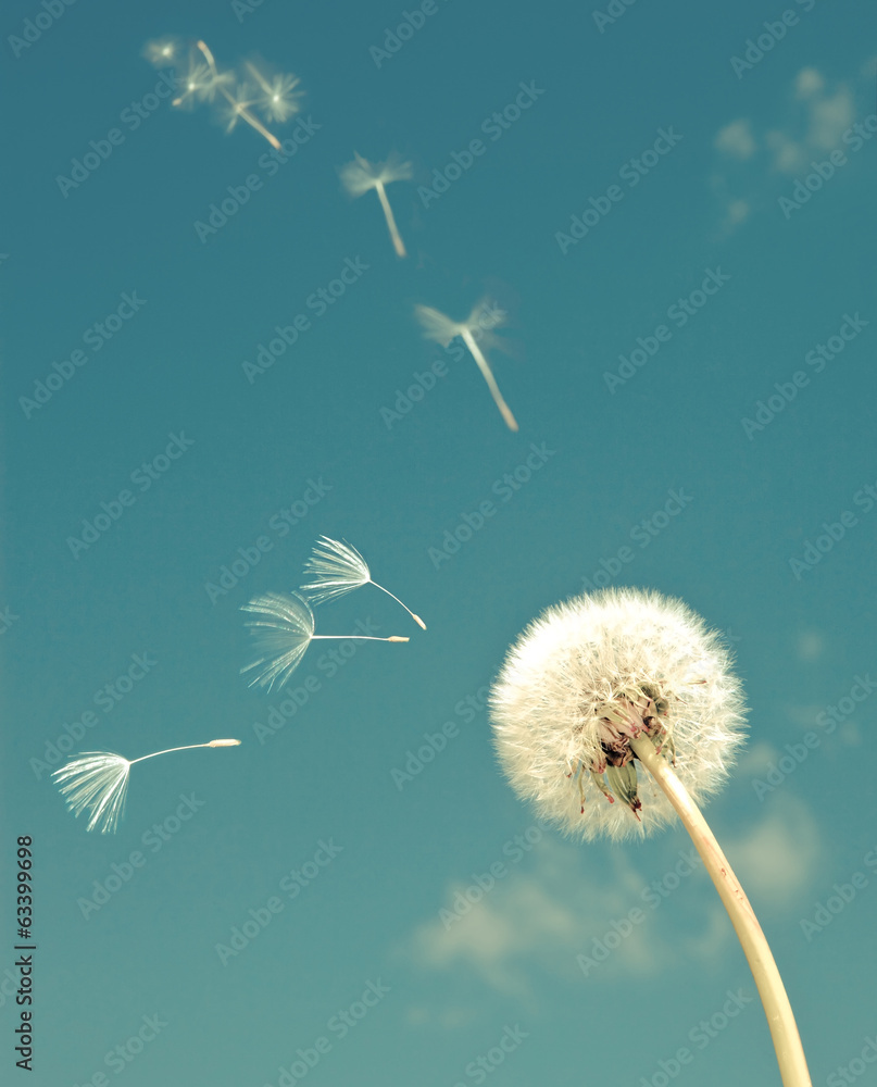 Fototapety, obrazy: Dandelion and flying  fuzzes,with a retro effect