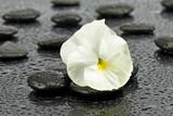 Fototapeta Kamienie - Biały bratek na kamieniach do spa