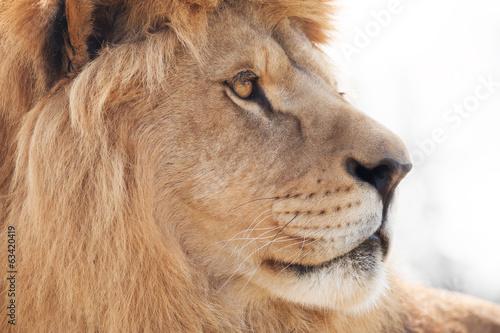 Fotobehang Leeuw Beautiful male lion wisely looking into distance