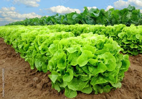 Obraz Salatpflanzen vor der Ernte - fototapety do salonu