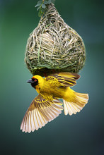 Masked Weaver At Nest