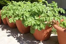 Potato Plant In Pots