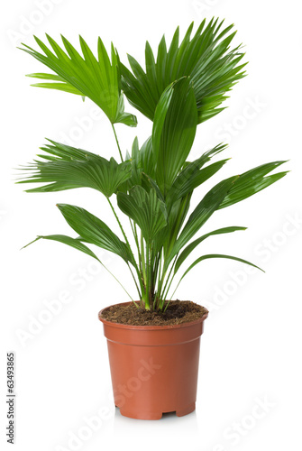 Poster Planten Livistona Rotundifolia palm tree in flowerpot
