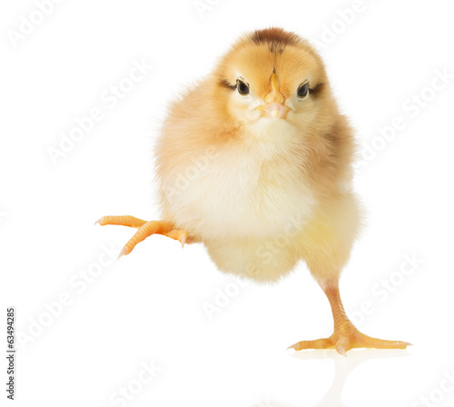 Canvas Print little chick on white background