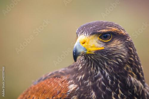 buzzard bird Poster