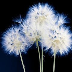 Obraz na Szkle Dmuchawce Dandelions