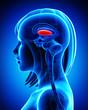 canvas print picture - Anatomy of female brain globus pallidus, L- cross section