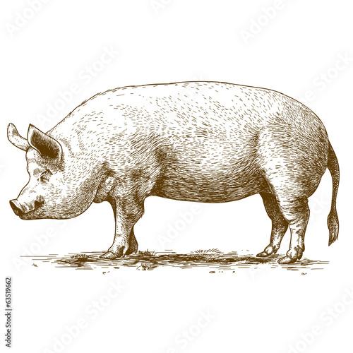 Fotografie, Obraz  Vektorové ilustrace gravírování velkého hog