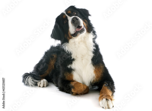 Photo bernese moutain dog