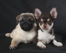 Chihuahua And Pug Studio On A Black Background
