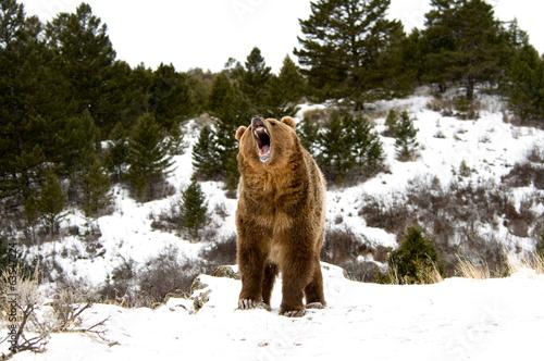Poster Polar bear Grizzly Bear