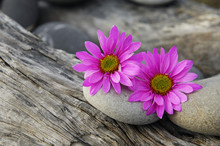 Two Pink Gerbera Blossom With Stones On Driftwood Texture