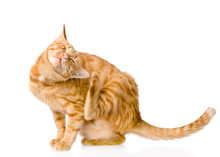 Domestic Cat Scratching Isolat...