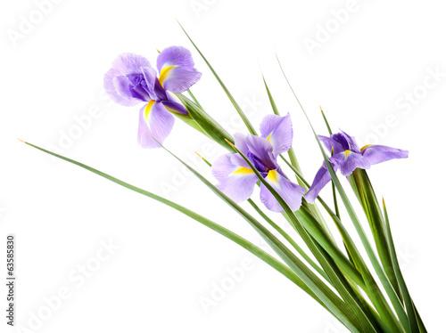 Deurstickers Iris Beautiful iris flower isolated on white