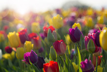 Field Of Colorful Tulips In Bl...