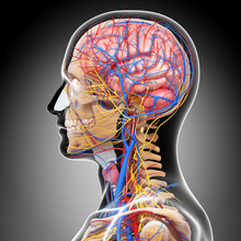 Anatomy Of Circulatory System And Nervous System With Brain