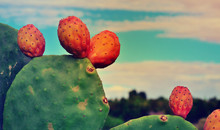 Wild Prickly Pear Cactus And Fruit
