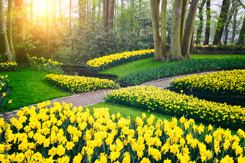Spring landscape with yellow daffodils. Keukenhof garden Canvas Print