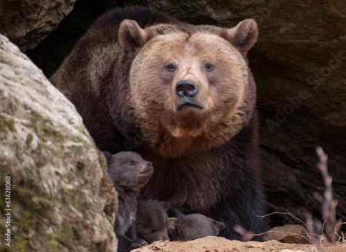 Valokuvatapetti Junger Braunbär - Ursus arctos