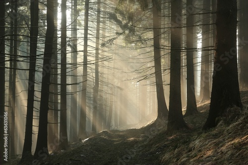 Fototapeten Wald Coniferous forest surrounded by dense fog at sunrise