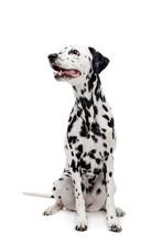 Beauty Dalmatian Dog, Isolated...
